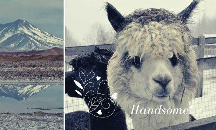 Lamas – der allerschönste Trend seit es Tiere gibt
